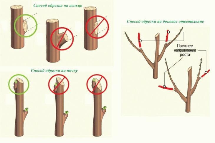 правила летней обрезки деревьев