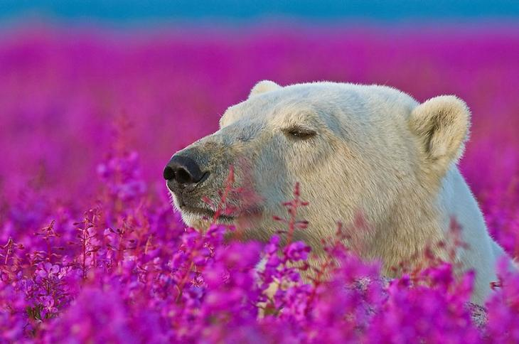 Белые медведи в цветущем поле, Северная Канада. Фото