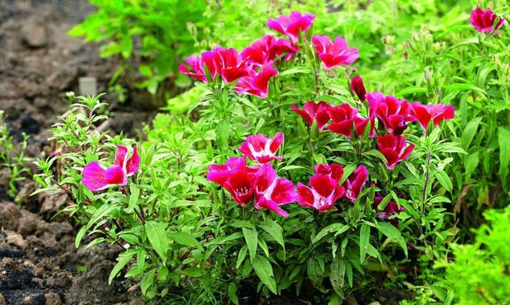 Крупноцветковая и махровая годеция: выращивание из семян в домашних условиях и посадка в открытый грунт