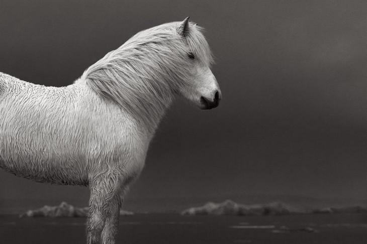 loshadi-Islandii-fotograf-Dryu-Doggett 14