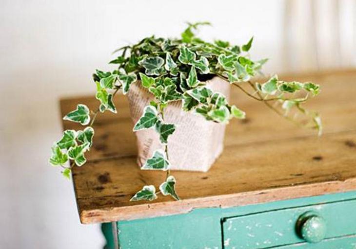 Плющ обыкновенный, цветок, комнатное растение