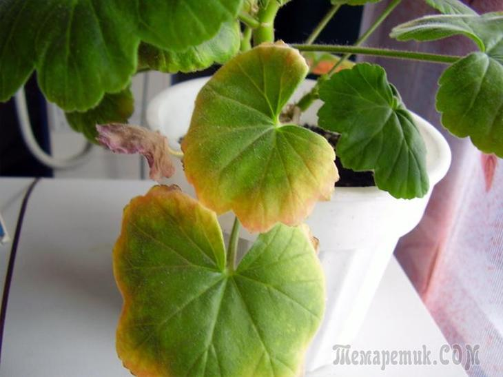 У герани скручиваются листья что делать и в чем причина