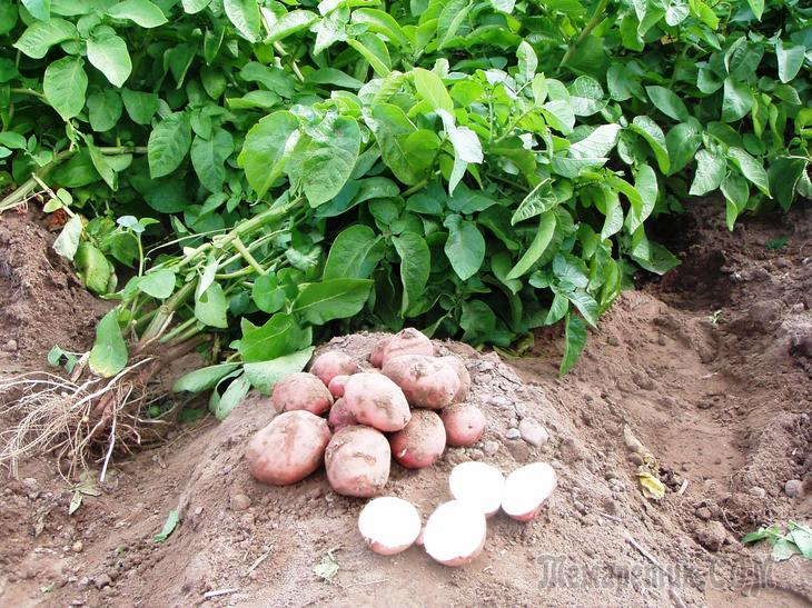 Лучшие виды сидератов для картофеля