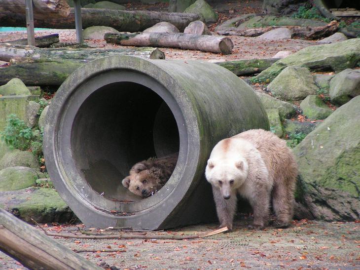 Пизли — гибрид белого и бурого медведя. (Corradox)