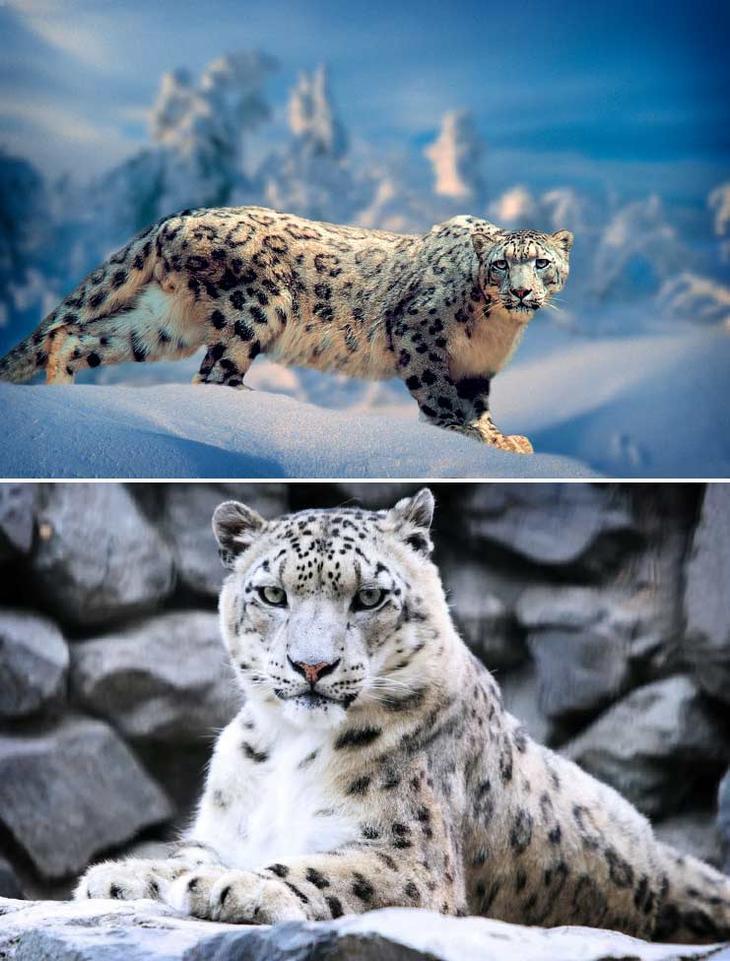 Снежный барс. Красота созданная природой. Самые красивые животные планеты. Фото с сайта NewPix.ru