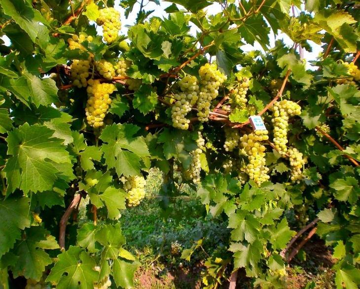 сорт винограда родина фото и описание
