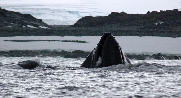 Горбатый кит вблизи станции Палмер