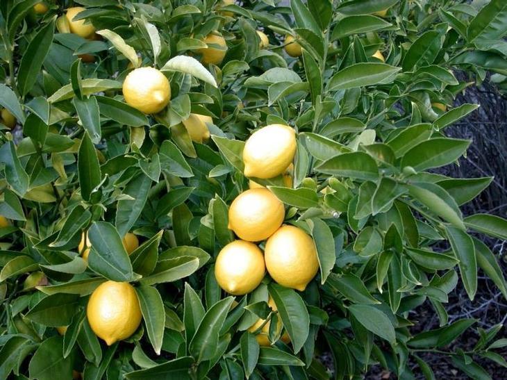 Посадка лимона черенком