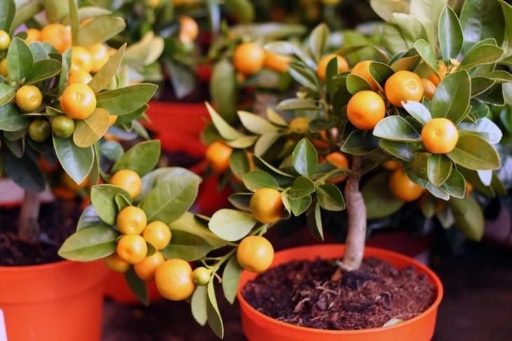 Комнатные цитрусовые деревья