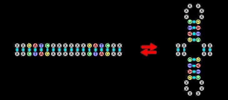 Палиндромы в ДНК: A. Палиндром, B. Кольцо, C. Стебель / ©wikipedia