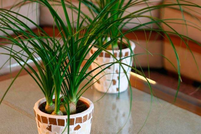 Растение конский хвост