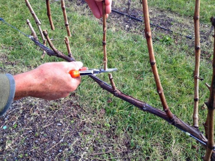 Подготовка к обрезке винограда
