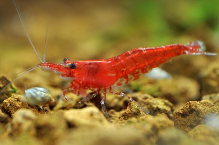 Вишнёвая креветка животные, красные животные, природа, цвет