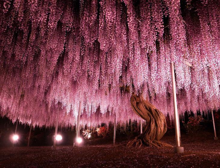 Парк Асикага и цветочный дождь