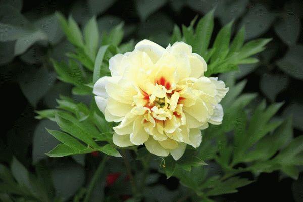 Пион Кора Луиза 17 фото описание сорта относящегося к группе пионов Ито-гибридов и особенности его выращивания