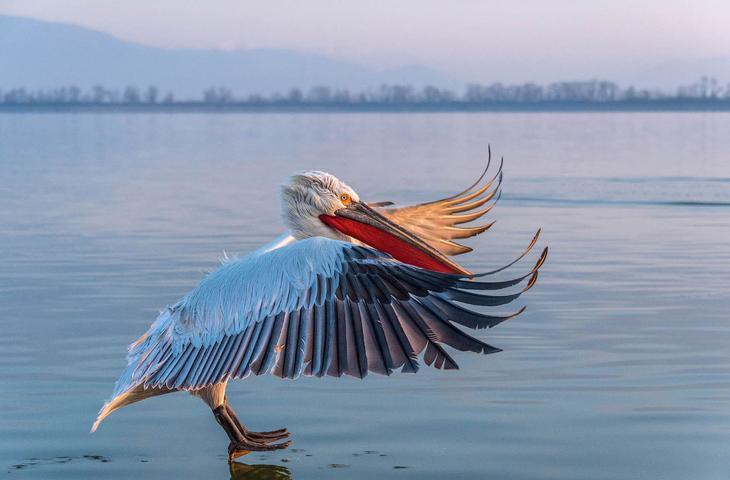 Кудрявый пеликан. Народное название — баба-птица