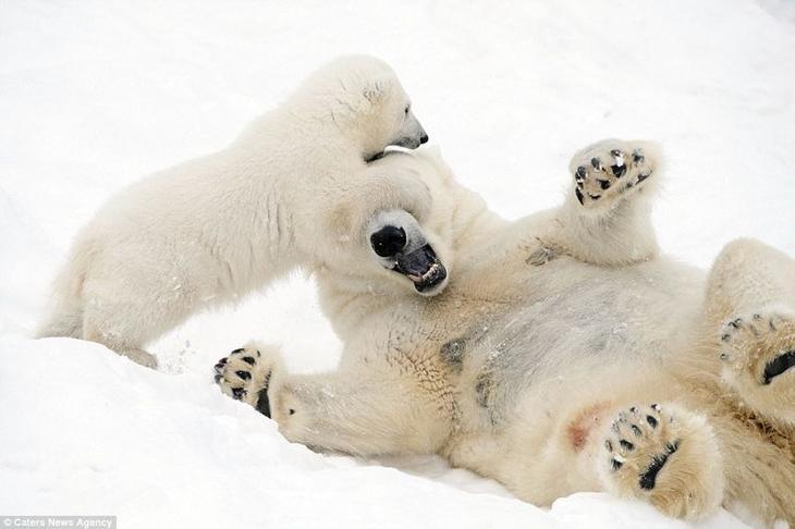 """""""Малыш долгое время спал, но когда проснулся, начал прыгать на свою маму и играть с ней"""", - рассказывает турист и фотограф, Джон Дэниелс  белые медведи, в мире животных, животные, забавно, медведи, мило, природа, фото"""