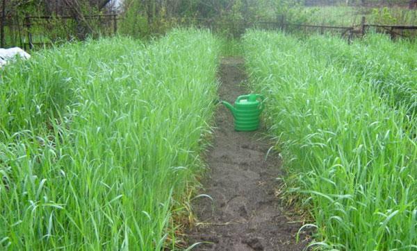 Овес как сидерат для улучшения плодородия почвы: когда сеять и скашивать