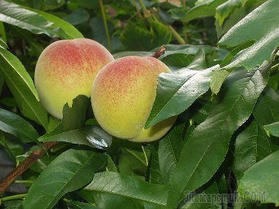 Как посадить саженец персика осенью