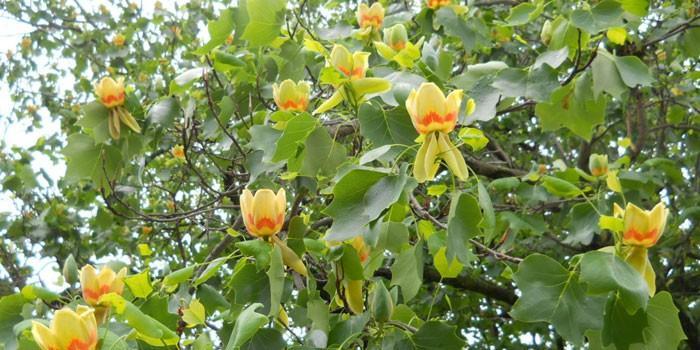 Лириодендрон тюльпанный. Особенности выращивания