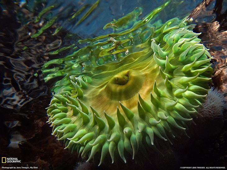 Гигантская зеленая анемона