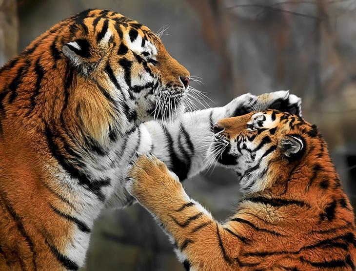 Тигры – дикий животный магнетизм в 30 потрясающих фотографиях 25