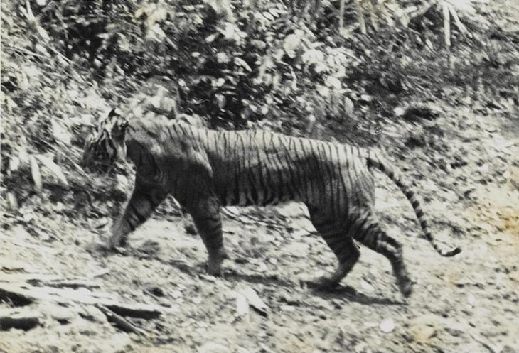 Яванский тигр животные, интересное, природа, человек
