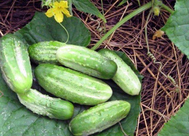 Огурцы устойчивые к паутинному клещу и мучнистой росе