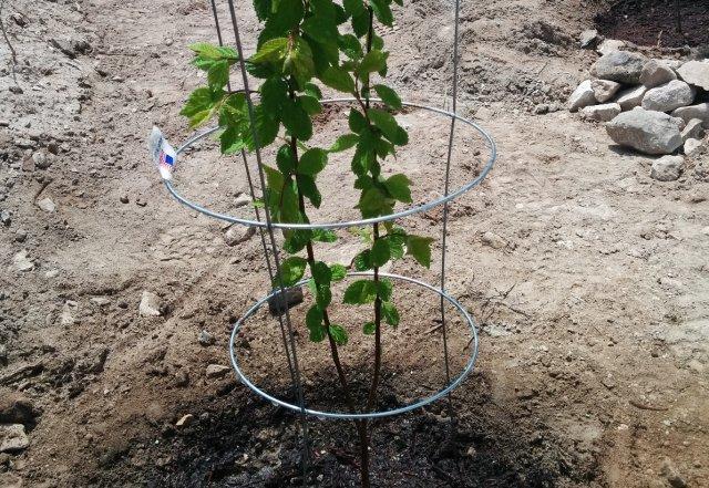 Войлочная вишня - посадка и уход, выращивание, обрезка весной, саженцы, фото, видео