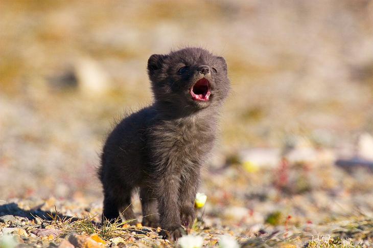 Фото: Jack Stephens Арктическая лиса