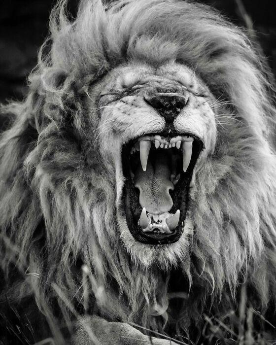 Фотограф увековечил царя зверей в трех десятках ошеломляющих снимков, которые поразили весь мир