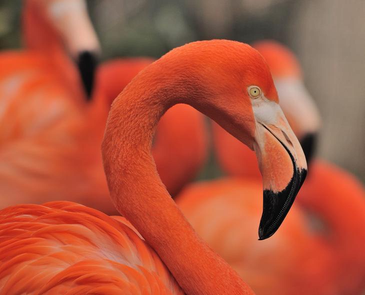 Фламинго животные, красные животные, природа, цвет