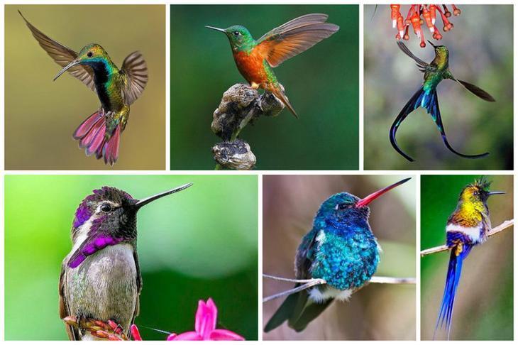 Ночью колибри впадают с особое состояние, похожее на анабиоз. Сердце теперпь бьется со скоростью не более 40 ударов в минуту, кровообращение замедляется интересное, колибри, природа, птицы, факты, фауна