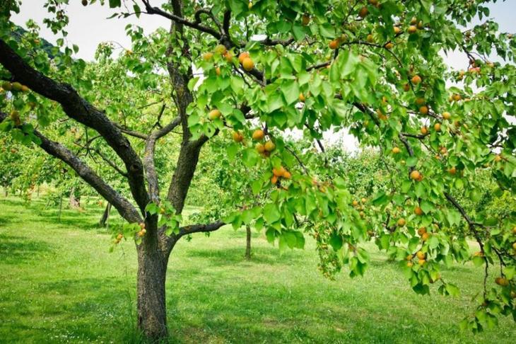 Плодоносящее дерево абрикоса