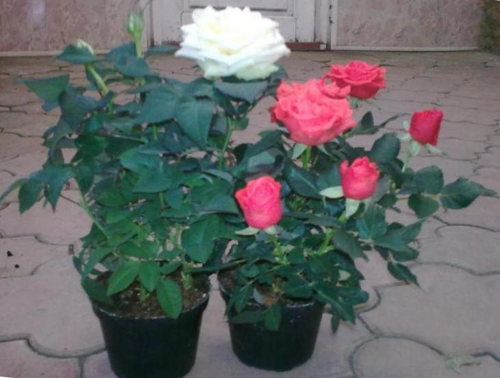 Белая и розовая розы