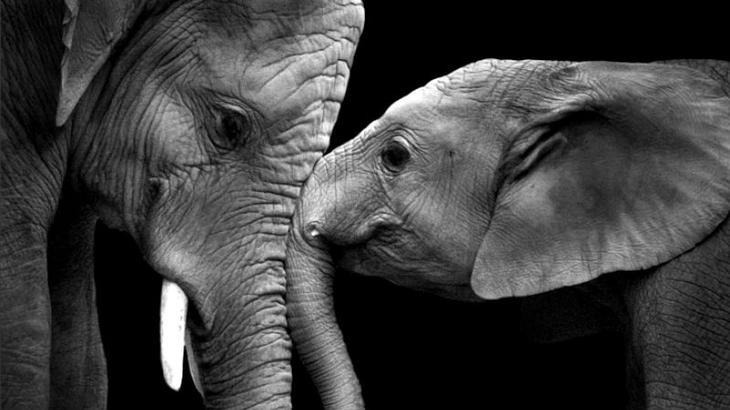 Elephant_zah
