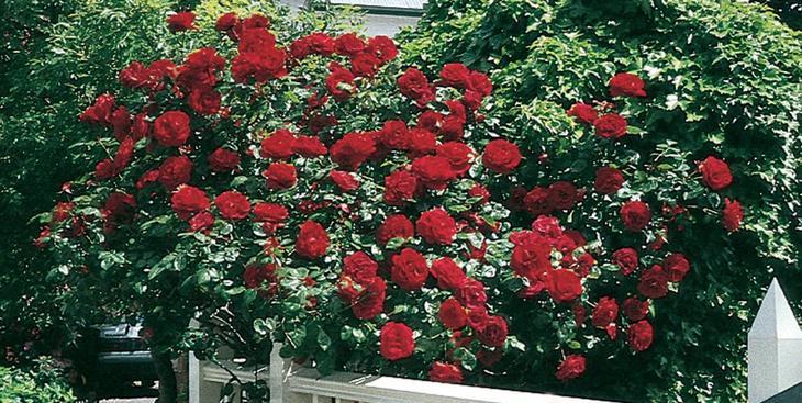 бенгальская роза, уход в домашних условиях