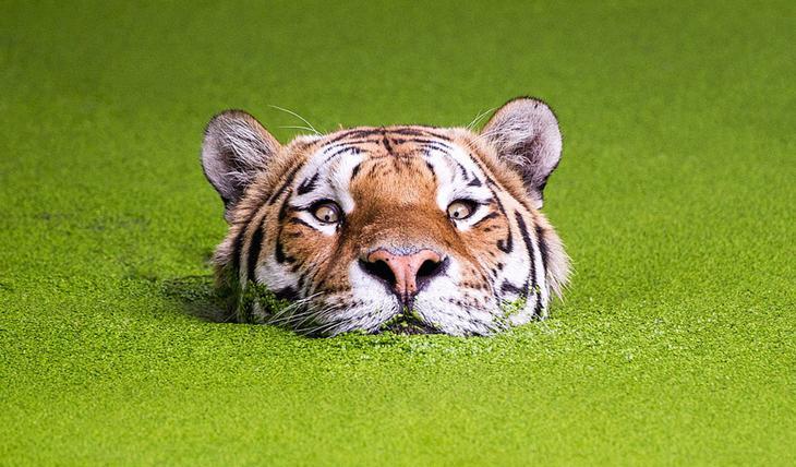 Тигры – дикий животный магнетизм в 30 потрясающих фотографиях 30