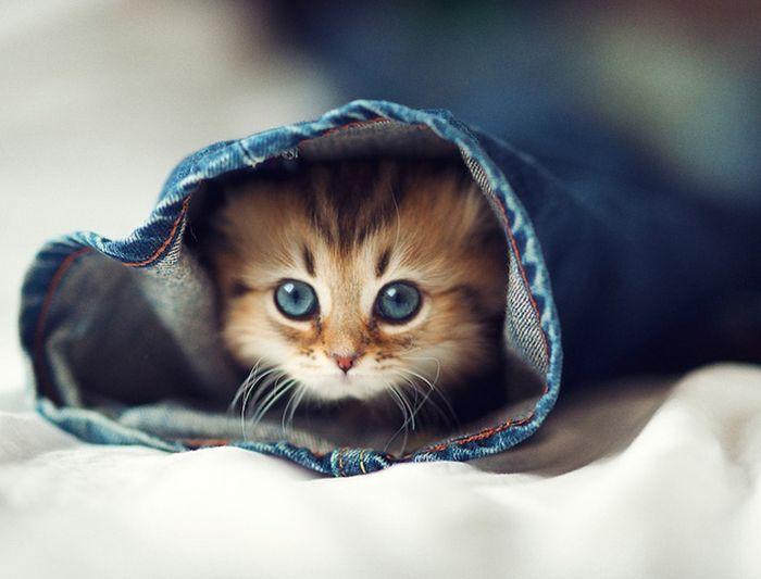 Маленькое голубое чудо — самый милый котенок в мире