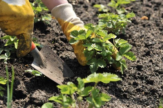 После чего сажать клубнику и что можно сажать после?