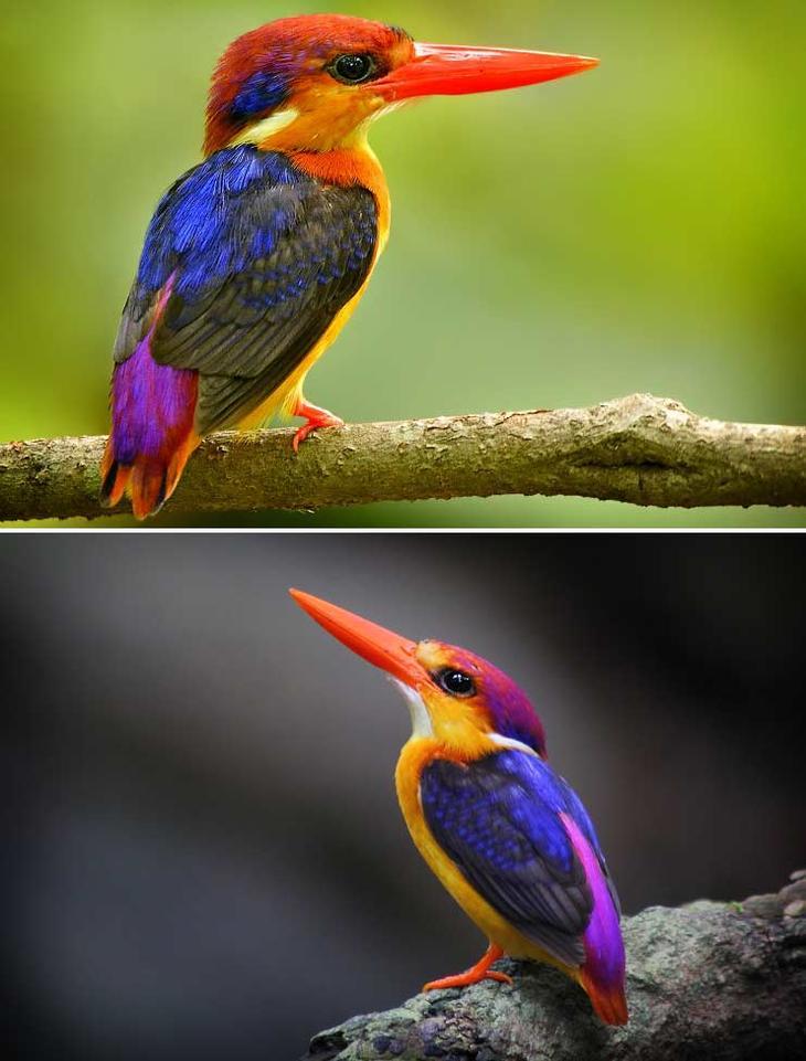 Рубиновый зимородок. Красота созданная природой. Самые красивые животные планеты. Фото с сайта NewPix.ru