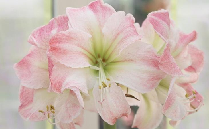 Цветы гиппеаструм: как ухаживать