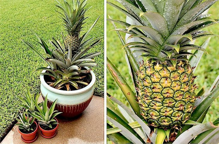 Декоративный ананас фото
