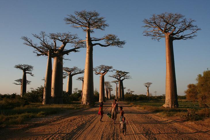 Аллея баобабов: самая живописная и невероятная дорога на острове Мадагаскар