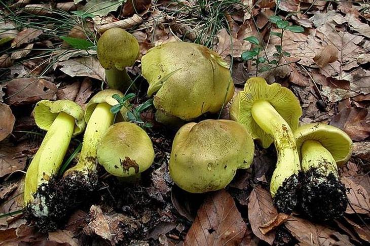Зеленушка. Самые опасные и ядовитые грибы. Фото с сайта NewPix.ru