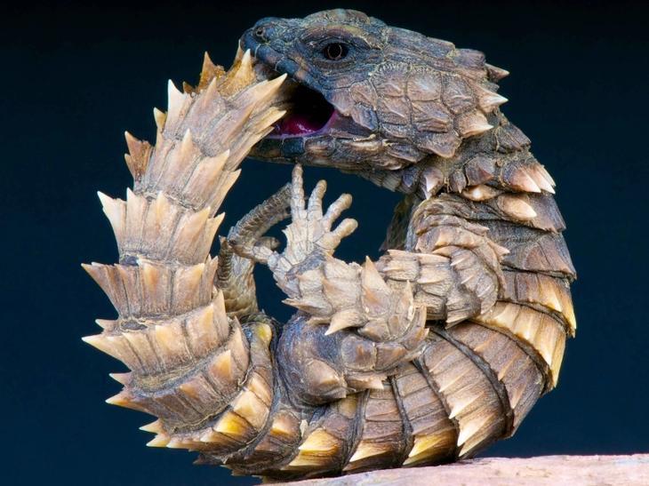 Cordylus Cataphracus фото