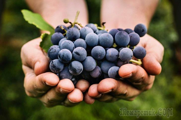 Для чего нужен виноград