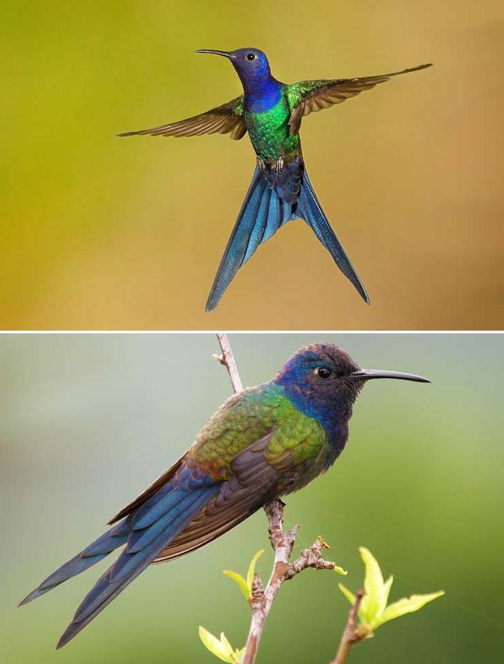 Ширококрылый колибри. Красота созданная природой. Самые красивые животные планеты. Фото с сайта NewPix.ru
