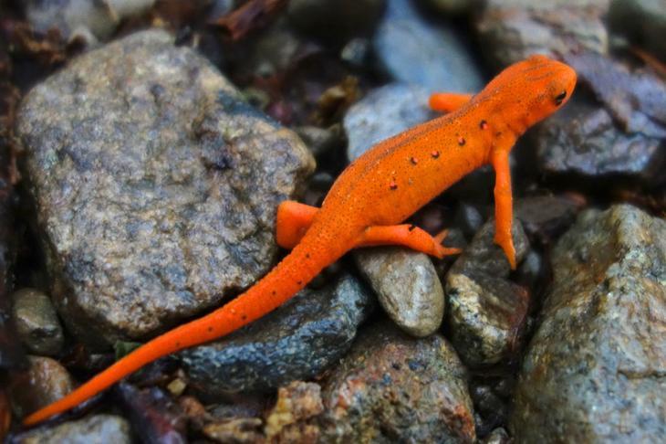 Зеленоватый тритон животные, красные животные, природа, цвет