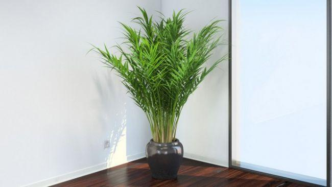 Пальма комнатная самые популярные виды